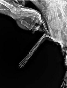 Нарушение опороспособности правой грудной конечности и по рентгенографии перелом костей предплечья (лучевая + локтевая).
