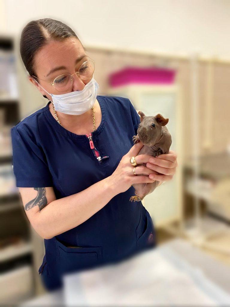 В нашей клинике новый ратолог! Малышева Юлия Евгеньевна - ведущий специалист по лечению грызунов с большим опытом практической и исследовательской работы, создавшей первое специализированное российское отделение по лечению грызунов, и являющийся признанным авторитетом в данной области.
